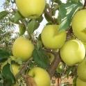 Jablko Golden Delicious 0,5kg