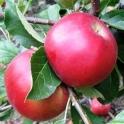 Jablka Florina BIO 0,5kg