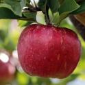 Jablko Florina BIO 0,5kg
