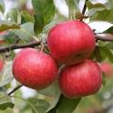 Jablka Idared CZ 0,5kg