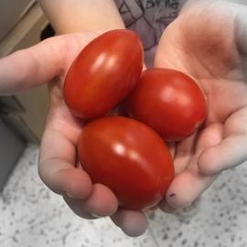 Nestříkaná cherry rajčata z Jižní Moravy 0,5 kg