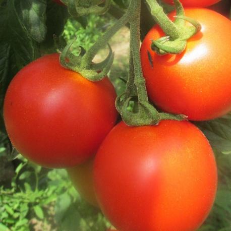 Nestříkaná střední rajčata z Jižní Moravy 0,5 kg