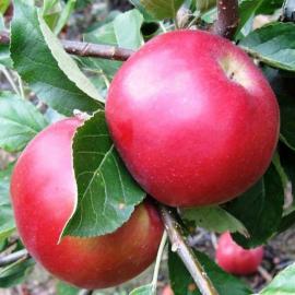 Jablka Gala 0,5kg