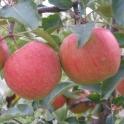 Jablko Šampion 0,5kg 2. jakost