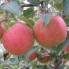 Jablko Šampion 0,5kg