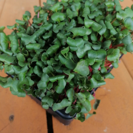 Microgreens ředkvička květináček 1ks