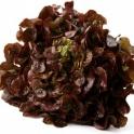 Salát dubový červený  z Jižní Moravy 1 ks