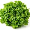 Salát dubový zelený z Jižní Moravy 1 ks
