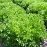 Salát Salanova Crispy zelený z Jižní Moravy 1 ks