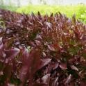 Salát Salanova Crispy červený z Jižní Moravy 1 ks