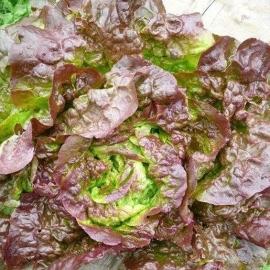 Salát hlávkový červený  z Jižní Moravy 1ks